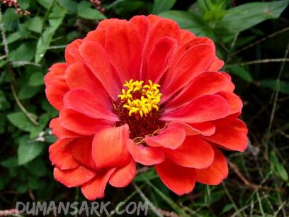 zinnia sunset